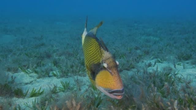 nahaufnahme von triggerfischjagden, die sand auf dem mit seegras bedeckten meeresboden auf blauem wasserauswaschen auswaschen. titan triggerfish (balistoides viridescens) reda sea, ägypten - algen stock-videos und b-roll-filmmaterial