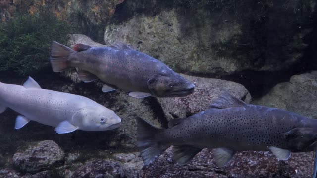 close up of trout and salmon - trout video stock e b–roll