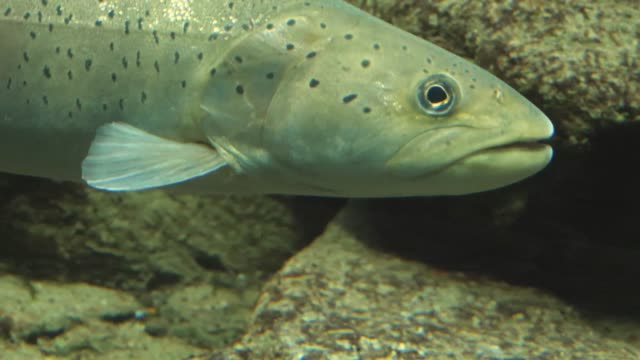close up of trout - trout video stock e b–roll