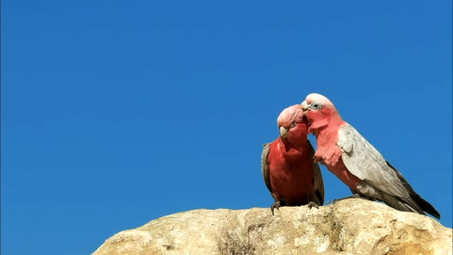close up of two galahs preening - western australia stock videos & royalty-free footage