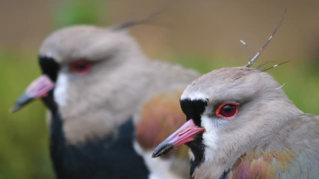 Close up of two lapwing birds video