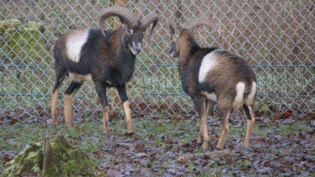 Close up of two male mouflon fighting