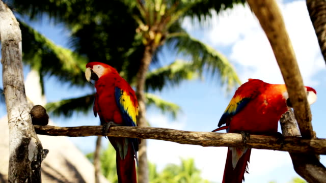close up of two red parrots sitting on perch video