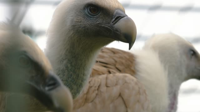 Close up of two vultures video