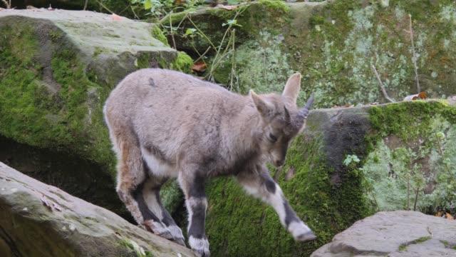 close up of two young alpine ibex - jelonek filmów i materiałów b-roll