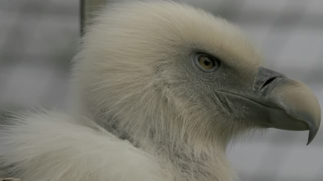 Close up of vulture's head looking around video