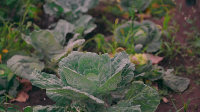 Close up of watering can watering cabbage. Care for vegetables on beds. Concept of courting of vegetable garden in summertime Close up of watering can watering cabbage. Care for vegetables on beds. Concept of courting of vegetable garden in summertime cabbage stock videos & royalty-free footage