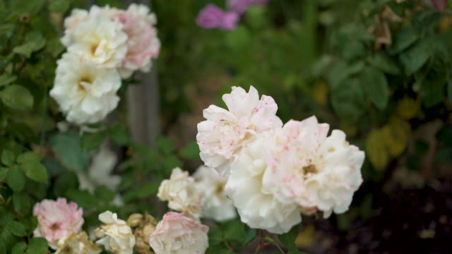 Close up of white and pink roses in bloom