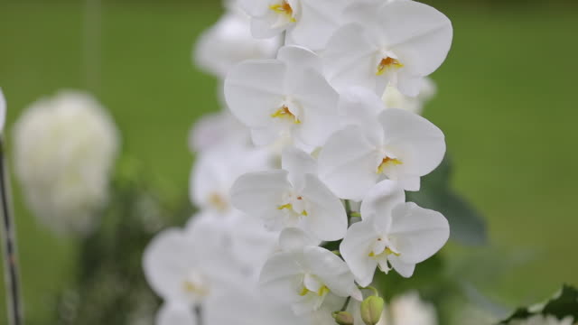 Close up of white branch orchid or phalaenopsis orchid detail at wedding ceremony set up.