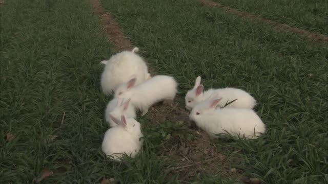 Close up of white bunnies eating grass together. Dolly out