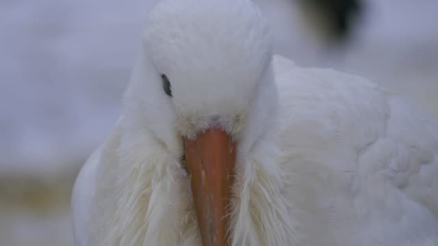 Close up of white storks head video