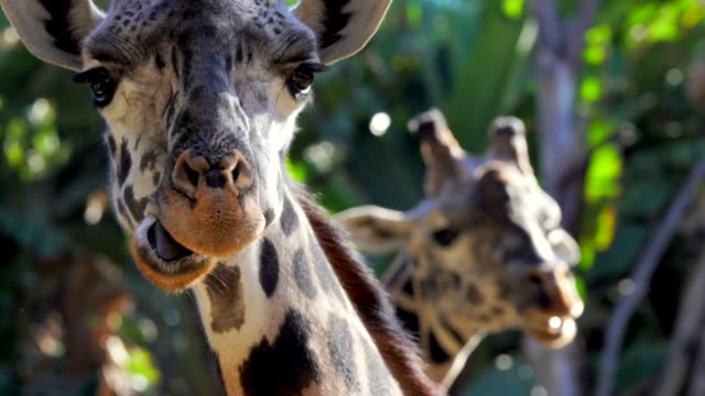 close up of wild giraffes chewing and looking in camera