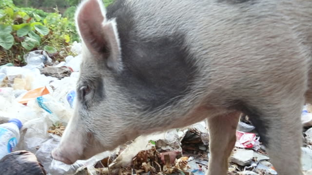 vídeos de stock e filmes b-roll de close up of  wild piglet in a forest full of garbage feeding on waste thrown at the mountain. animals eating throwing plastic waste. save the world - desperdício alimentar