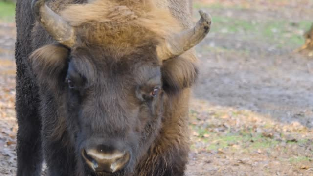 Close up of wisent head video