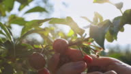 istock A close up of woman's hand picking cherries from a cherry tree on sunrise 1253146961