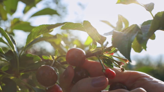 A close up of woman's hand picking cherries from a cherry tree on sunrise Women working in cherries plant on a warm and sunny morning.  A close up of woman's hand picking cherries from a cherry tree. The branch is completely full of ripe red cherries ready to eat. cherry stock videos & royalty-free footage
