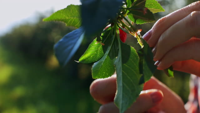 A close up of woman's hand picking cherries from a cherry tree on sunrise