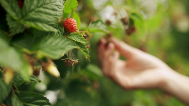 vídeos de stock e filmes b-roll de a close up of woman's hand picking raspberry from a raspberry tree on sunrise - picking fruit