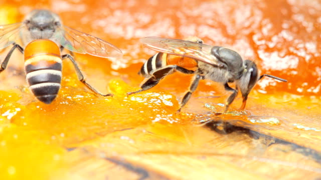 close up of working bee find nectar on mango jam - apicoltura video stock e b–roll