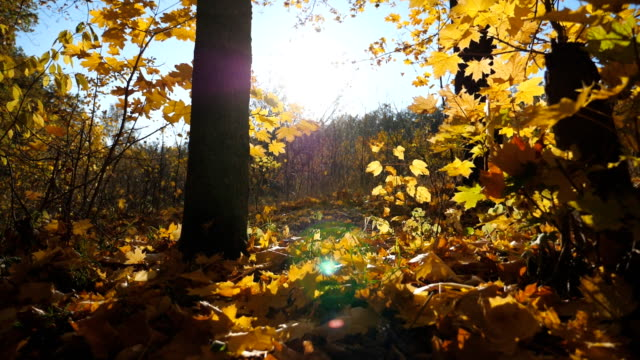 vídeos de stock e filmes b-roll de close up of yellow autumn foliage falls on ground in empty forest. golden maple leaves coveres lawn in park at sunset. bright sunlight illuminates nature. beautiful colorful fall season. slow motion - setembro