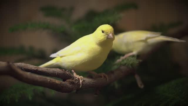 vídeos de stock e filmes b-roll de close up of yellow canary birds, exotic birds in pet farm. - animal doméstico
