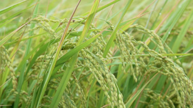 close up of yellow green rice field close up of yellow green rice field real life stock videos & royalty-free footage