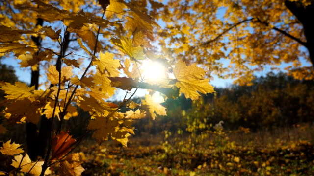 vídeos de stock e filmes b-roll de close up of yellow maple leaves on tree branches gently sways on the wind at autumn forest. warm sunbeams illuminates lush foliage swinging on the breeze. beautiful colorful fall season. slow motion - setembro