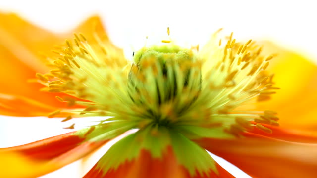 close up of yellow poppy moving in slight summer breeze video