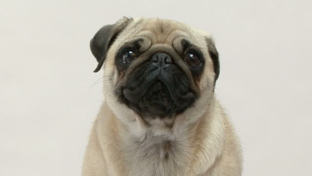 close up on a pug looking at the camera