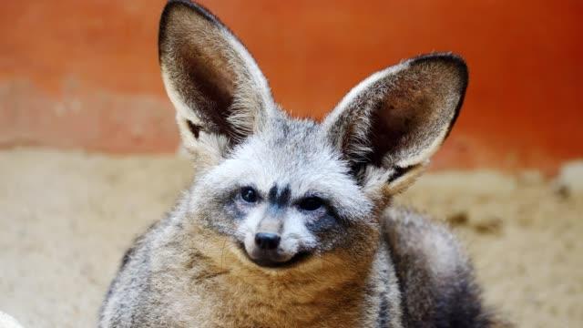 Cerca de las orejas de murciélago zorro. - vídeo