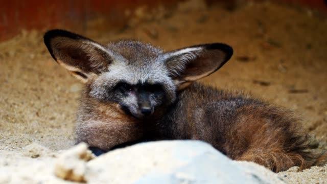närbild på bat-eared fox. - däggdjur bildbanksvideor och videomaterial från bakom kulisserna