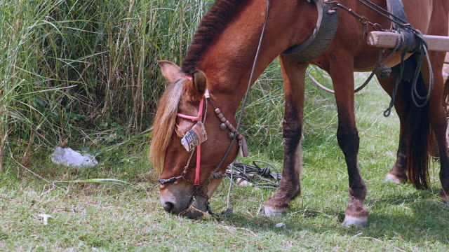 Close up on chestnut horse grazing in a field video