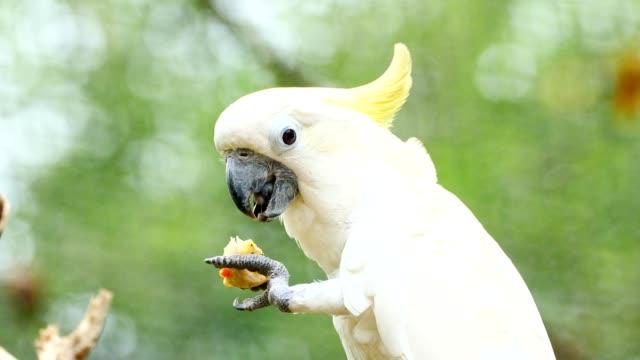 Close up on cockatoo feeding.