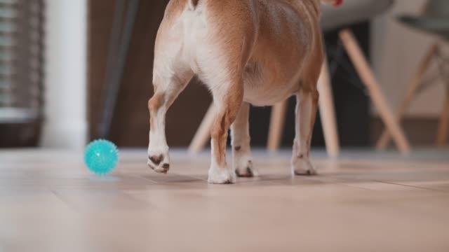 nah aufnahme auf hundebeinen, die zu hause auf dem boden laufen. gemütlich, boden, hund, welpe, haustier, tier, haus, doggy / 4k slow motion footage - hundesitter stock-videos und b-roll-filmmaterial