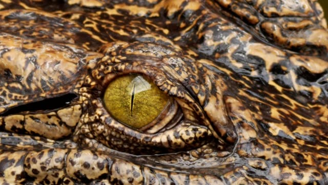 Close up on eye Crocodile. Close up on eye Crocodile. reptile stock videos & royalty-free footage
