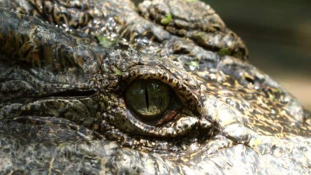 Close up on eye Freshwater crocodile in Thailand