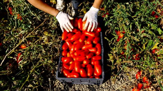 hautnah am Bauernmarkt Hände setzen frisch gepflückte Tomaten in der Box-Kalabrien, Süditalien – Video