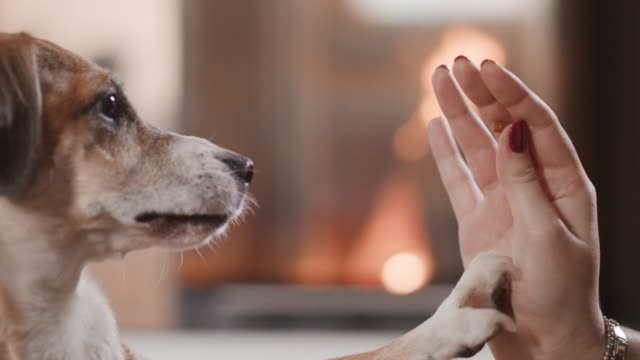 close up on girls hand feeding her dog in the front of fireplace. cozy, fire, dog, puppy, pet, animal, home, doggy, smiling face, cute, home / 4k slow motion footage - terrier video stock e b–roll