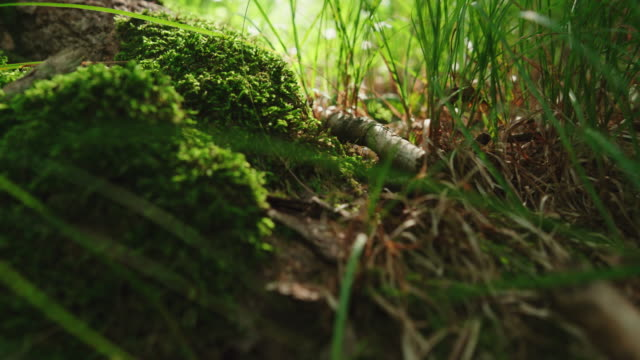 Close up on lichen moss and herb in the forest Colorful green moss on ground in the forest in low angle view moss stock videos & royalty-free footage