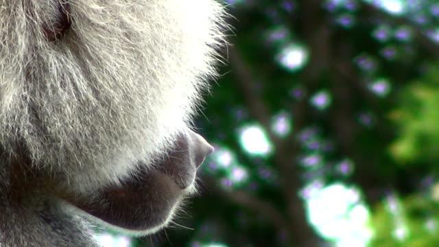 Close up on the hamadryas baboon (Papio hamadryas).