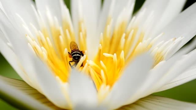primo piano: un'ape nel centro di loto - ape operaia video stock e b–roll