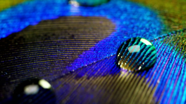close up or macro of a colorful peacock feather with a drop resting on. The peacock feather full of colors and textures is elegant and decorated.