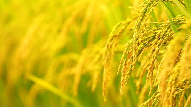 クローズアップパディの茎フィールドに風に揺れる - 稲点の映像素材/bロール