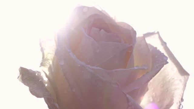 närbild av panoramavy över vackra pastell rose med vattendroppar mot ljus himmel bakgrund i slow motion. - white roses bildbanksvideor och videomaterial från bakom kulisserna