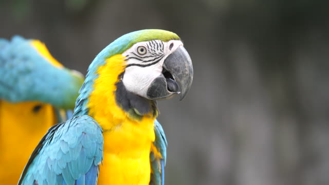 Close up parrot macaw video