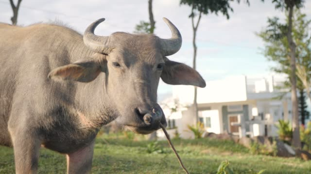 Close up partial portrait of a water buffalo looking towards the camera.