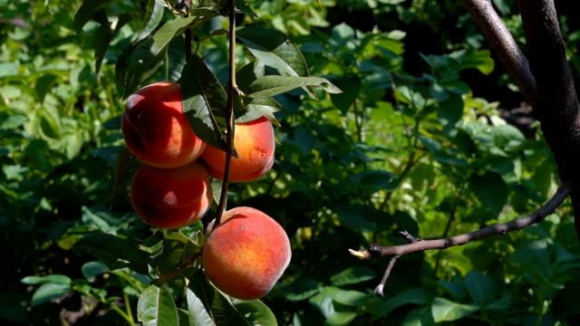 close up peach video