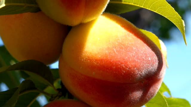 close up peach close up of the ripe fruit peach peach stock videos & royalty-free footage