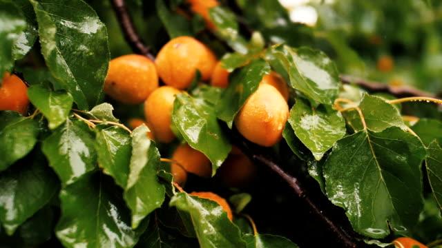 close up peach - абрикос стоковые видео и кадры b-roll