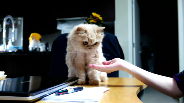 close up persian cat shaking hand with people on table - arto inferiore animale video stock e b–roll